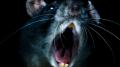 rats_morgan_spurlock